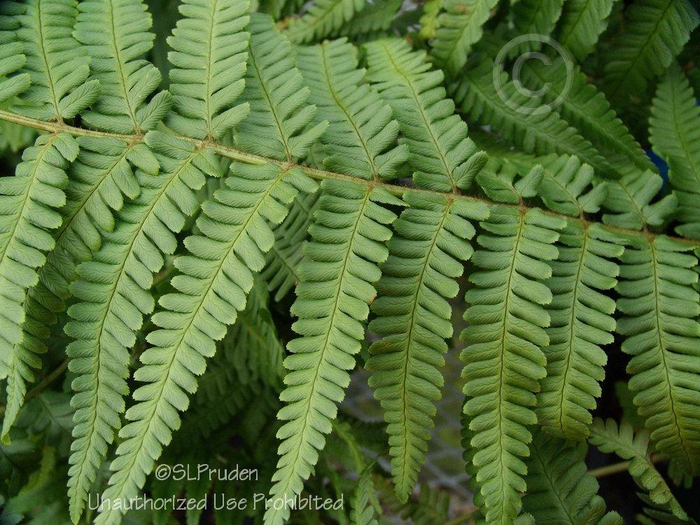 Photo of Mexican Male Fern (Dryopteris pseudofilix-mas) uploaded by DaylilySLP