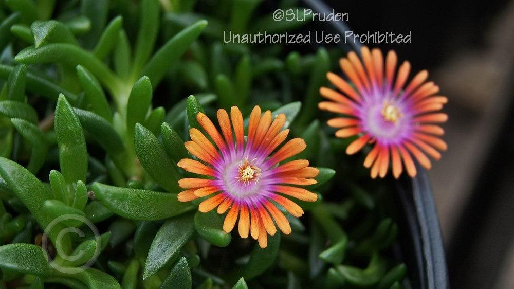 Photo of Ice Plant (Delosperma Fire Spinner™) uploaded by DaylilySLP