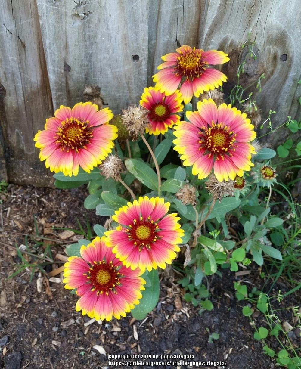 Blanket Flowers Plant Care And Collection Of Varieties Gardenorg