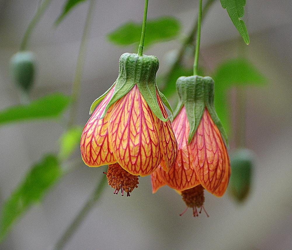 Abutilons Plant Care And Collection Of Varieties Gardenorg