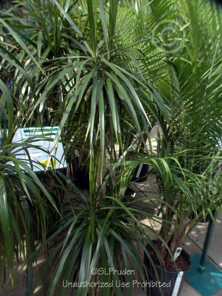 Photo of Dragon Tree (Dracaena marginata) uploaded by DaylilySLP