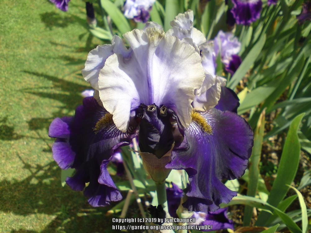 Photo of Tall Bearded Iris (Iris 'Stormclouds over Putauaki') uploaded by LynDC