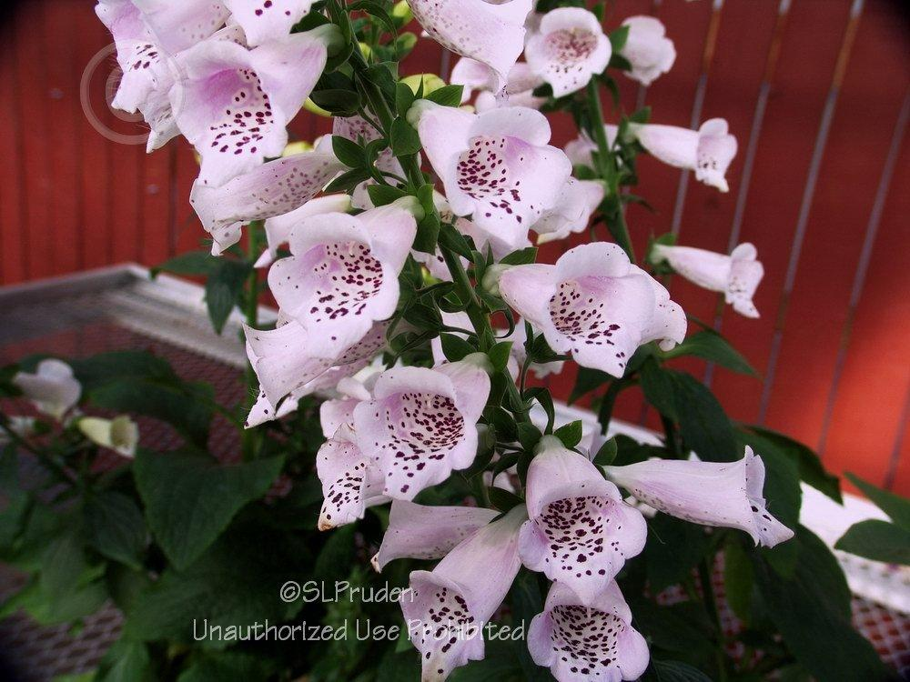 Photo of Foxglove (Digitalis purpurea Camelot™ Lavender) uploaded by DaylilySLP