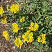 Location: Zone 6Date: 2019-04-29Yellow flowers - blooming now!