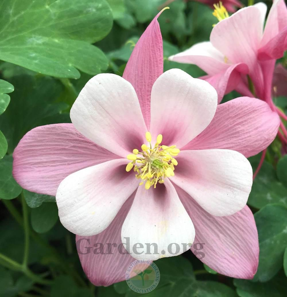 Photo of Columbine (Aquilegia Kirigami™ Rose & Pink) uploaded by BlueOddish