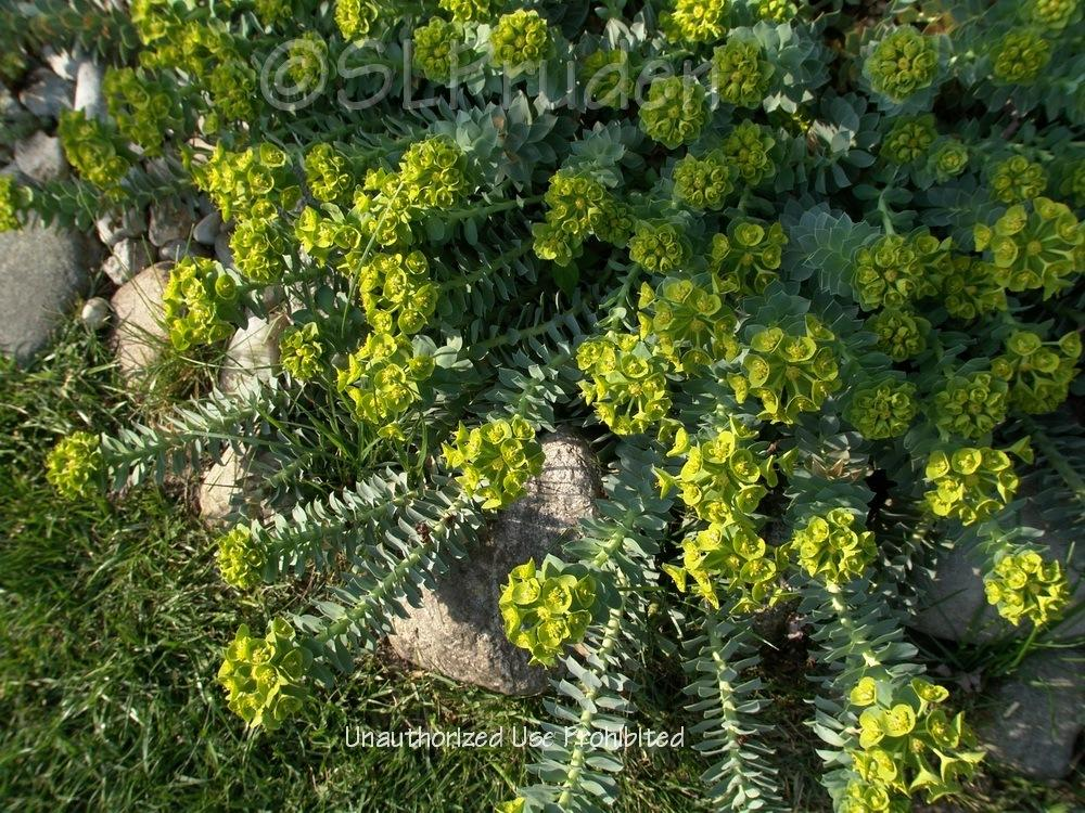Photo of Donkey Tail (Euphorbia myrsinites) uploaded by DaylilySLP