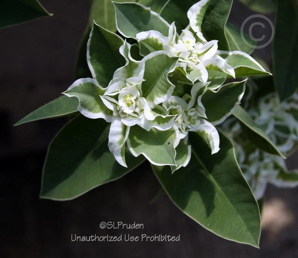 Photo of Snow on the Mountain (Euphorbia marginata) uploaded by DaylilySLP