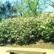 Location: Hinsdale, IllinoisDate: May in 1985group planted on a slope