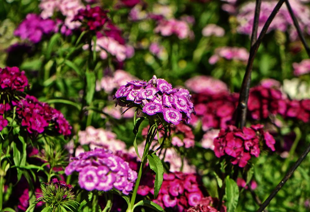 Photo of Dianthus uploaded by dawiz1753
