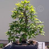 Location: Matthaei Botanical Gardens, Ann Arbor, MIDate: 2014-07-06Bonsai--started 1972, trained since 1982, donated by Ho
