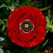 Location: Botanical Gardens of the State of Georgia...Athens, GaDate: 2019-04-30Red Poppy 060