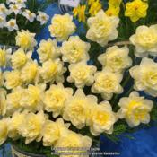 Location: Harrogate Flower ShowDate: 2019-04-27Walkers Bulbs exhibit