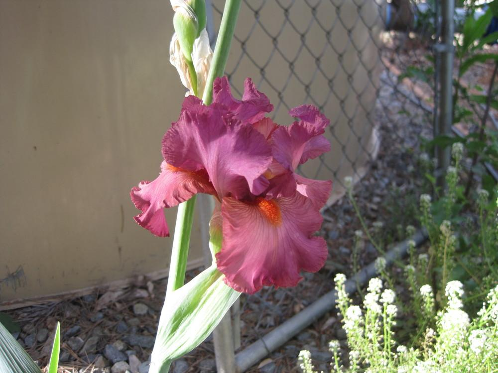 Photo of Tall Bearded Iris (Iris 'Mulled Wine') uploaded by shalyn