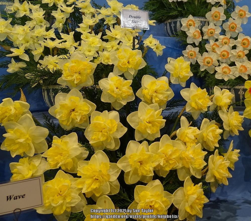 Photo of Double Daffodil (Narcissus 'Double Star') uploaded by kniphofia