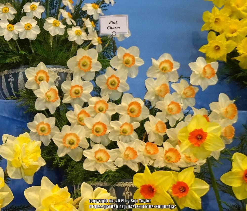 Photo of Large-Cupped Daffodil (Narcissus 'Pink Charm') uploaded by kniphofia