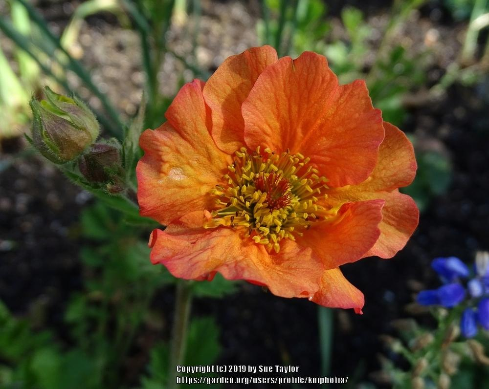 Photo of Avens (Geum 'Totally Tangerine') uploaded by kniphofia