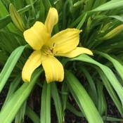 Location: Willow Valley Communities, Lakes Campus, Willow Street, Pennsylvania, USADate: 2019-05-06First daylily bloom I have seen in 2019!