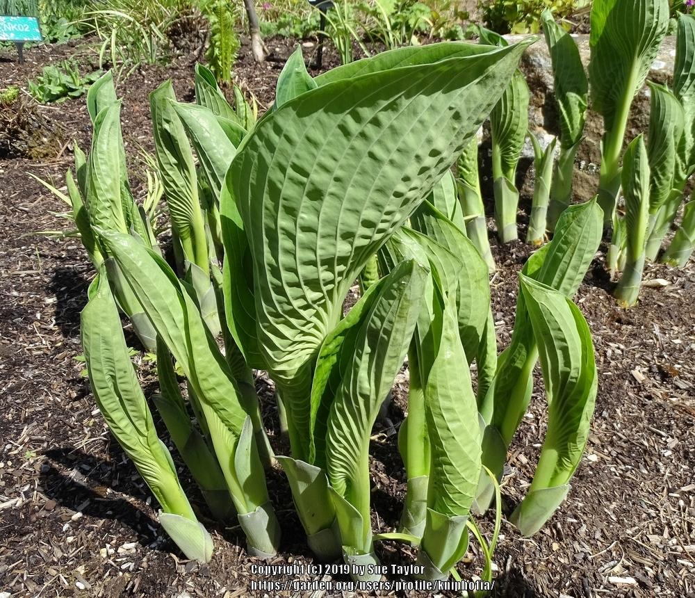 Photo of Hosta 'Halcyon' uploaded by kniphofia