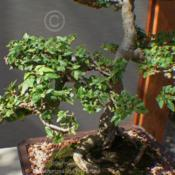 Location: Matthaei Botanical Gardens, Ann Arbor, MIDate: 2011-03-19Bonsai--started 1969, trained since 1989, donated by Go