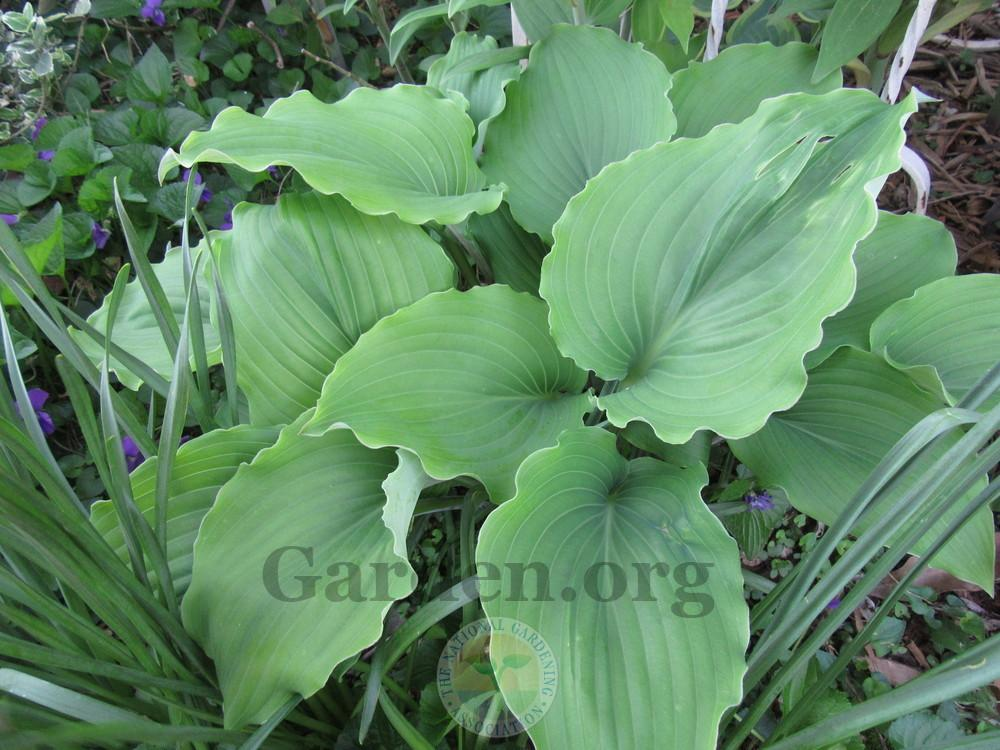 Hostas For Sale >> Classifieds And Group Buys Forum Hostas For Sale 5 Each Garden Org