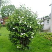 Location: Downingtown, PennsylvaniaDate: 2019-05-10younger, maturing shrub in bloom