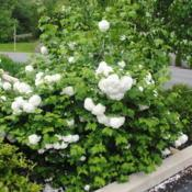 Location: Downingtown, PennsylvaniaDate: 2019-05-10shrub in bloom