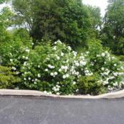 Location: Downingtown, PennsylvaniaDate: 2019-05-10three shrubs in parking lot island
