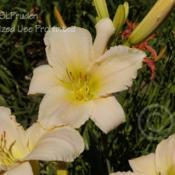 Location: Private Daylily Garden, SE MichiganDate: 2012-07-10