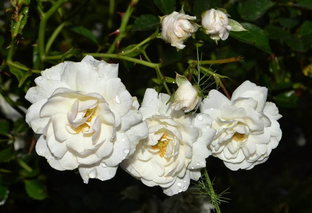 Photo of Rose (Rosa 'Sea Foam') uploaded by dawiz1753