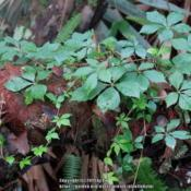 Location: Sebastian,  FloridaDate: 2019-05-14Growing on Saw Palmetto (Serenoa repens) stump