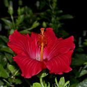 Location: Botanical Gardens of the State of Georgia...Athens, GaDate: 2019-05-15Tropical Hibiscus 006