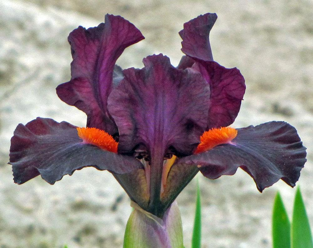 Photo of Standard Dwarf Bearded Iris (Iris 'Matador's Cape') uploaded by TBGDN