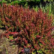 Location: Botanical Gardens of the State of Georgia...Athens, GaDate: 2019-05-15Orange Rocket Barberry 001