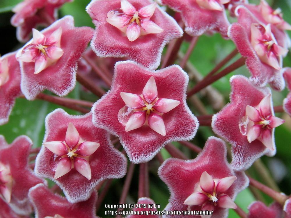 Hoyas Plant Care And Collection Of Varieties Gardenorg