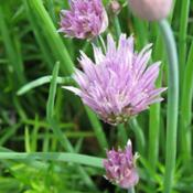 Location: North Carolina USADate: 2019-04-21Chives - delicious when snipped and sometimes make it i