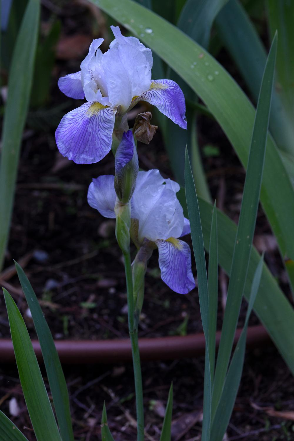 Photo of Miniature Tall Bearded Iris (Iris 'Doucement va le Jour') uploaded by cliftoncat