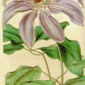 Date: c.1842illustration- as Clematis caerulea grandiflora- from 'Curtis's Bo