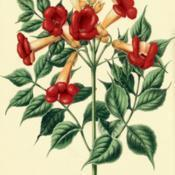 Date: c. 1868illustration by A. J. Wendel from Witte's 'Flora', 1868
