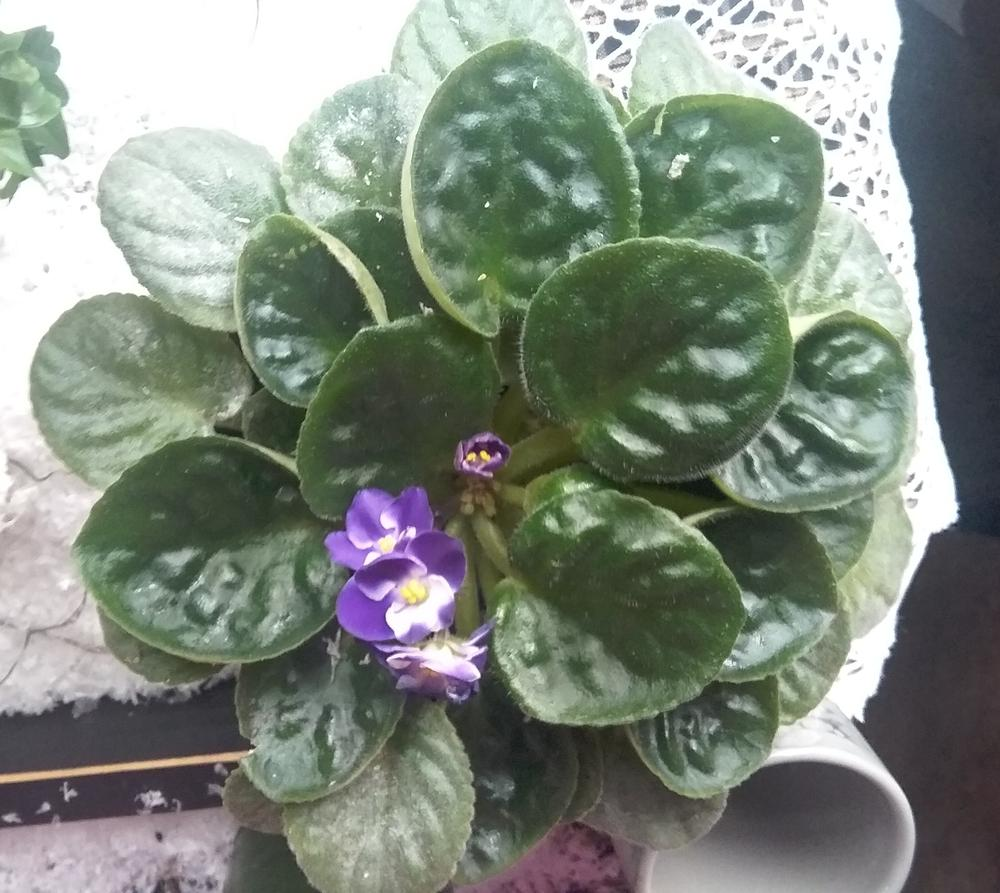 Photo of African Violets (Saintpaulia) uploaded by svslabaugh