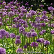 Location: RHS Harlow Carr, Yorkshire, UKDate: 2019-05-22En masse in the summer borders.