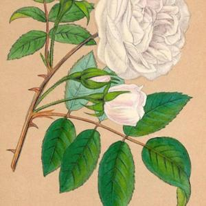 illustration from Forney and Jamain's 'Les Roses', 1873