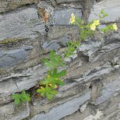 Location: Downingtown, PennsylvaniaDate: 2019-05-23a plant growing in a stone wall
