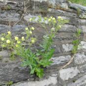 Location: Downingtown, PennsylvaniaDate: 2019-05-23another plant growing from a stone wall
