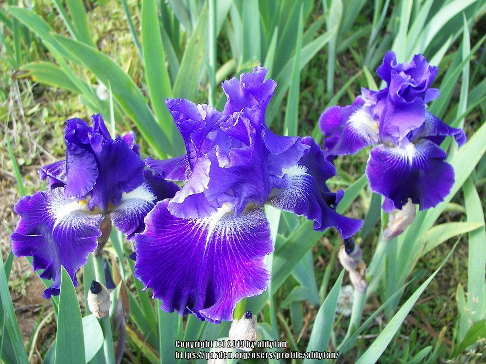 Photo of Tall Bearded Iris (Iris 'Daughter of Stars') uploaded by alilyfan