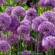 Location: RHS Harlow Carr, Yorkshire, UKDate: 2019-05-25