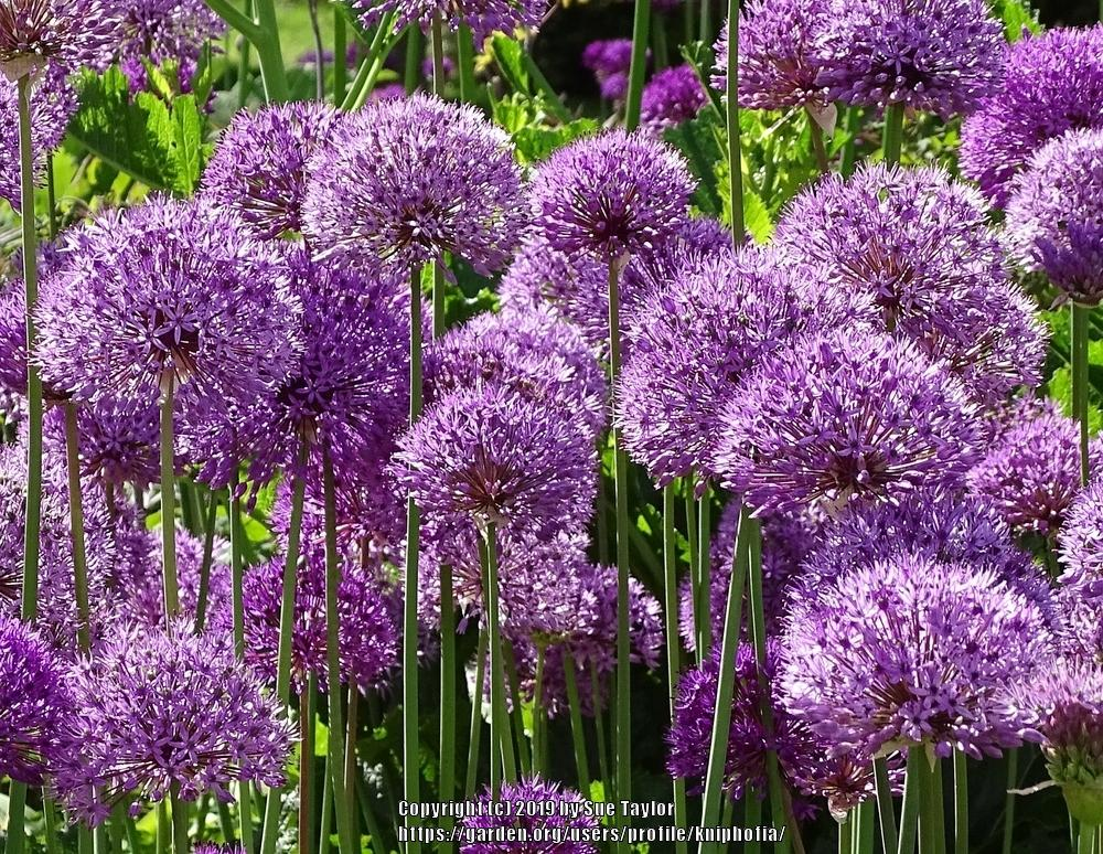 Photo of Flowering Onion (Allium 'Purple Sensation') uploaded by kniphofia