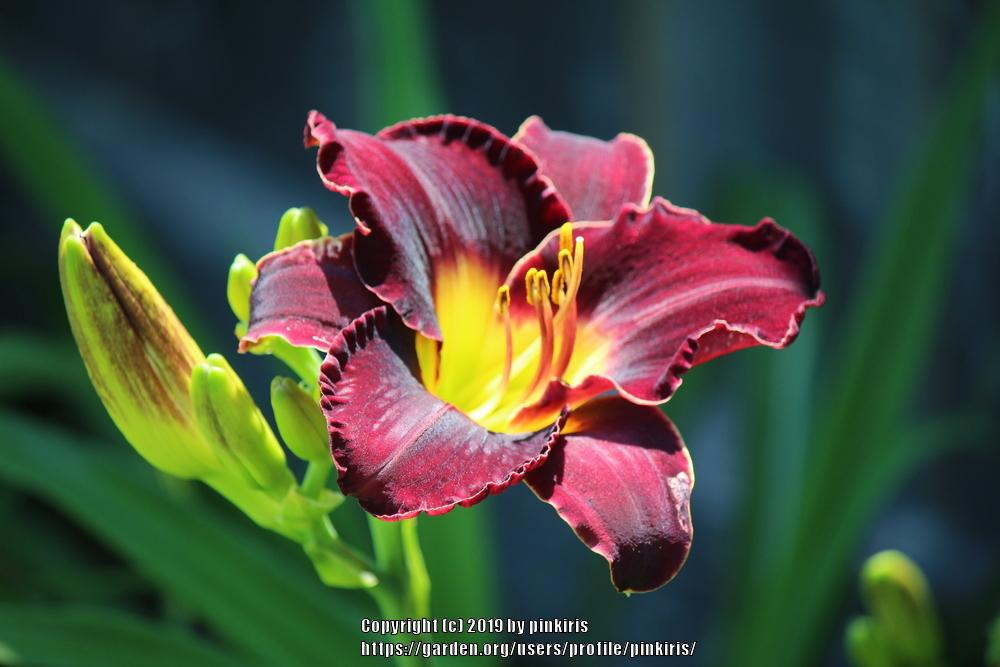 Photo of Daylily (Hemerocallis 'Midnight Magic') uploaded by pinkiris