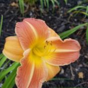 Location: Eureka, CADate: 2019-05-27Landscaping daylily, var unknown!