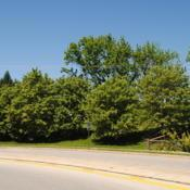 Location: Downingtown, PennsylvaniaDate: 2019-05-24line of planted trees at shopping center exit