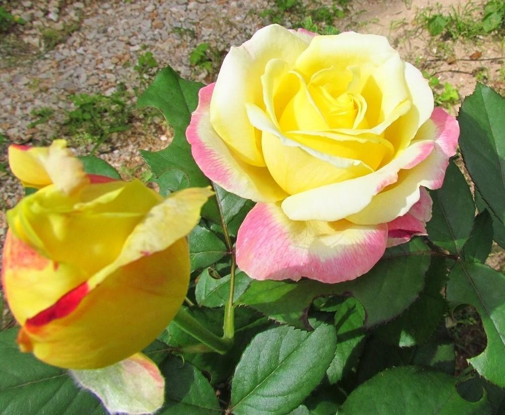 Photo of Rose (Rosa 'Bella'roma') uploaded by Moondog